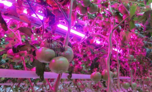 Для получения большого урожая необходимо обеспечить правильный режим освещения
