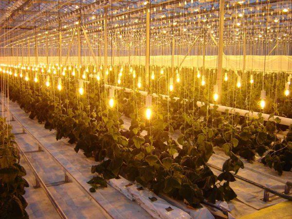 Подсветка растений лампами накаливания